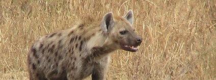 Hyena skvrnitá (Crocuta crocuta). Foto: Gastrocycle / Wikimedia Commons