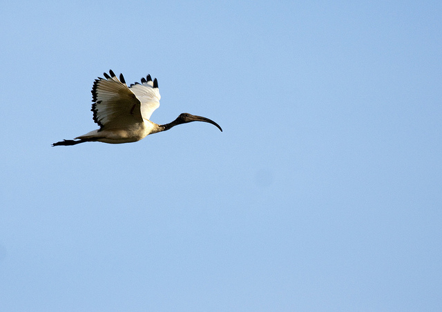 Případě ibise posvátného vedla mumifikace na území egypta k