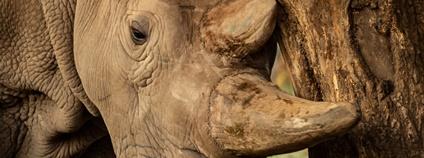 Poslední ze samic nosorožce bílého severního Foto: Dylan Habil / Rio the Photographer - Ol Pejeta