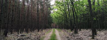 Listnatý naproti jehličnatému lesu Foto: Zdeňka Kováříková Ekolist.cz
