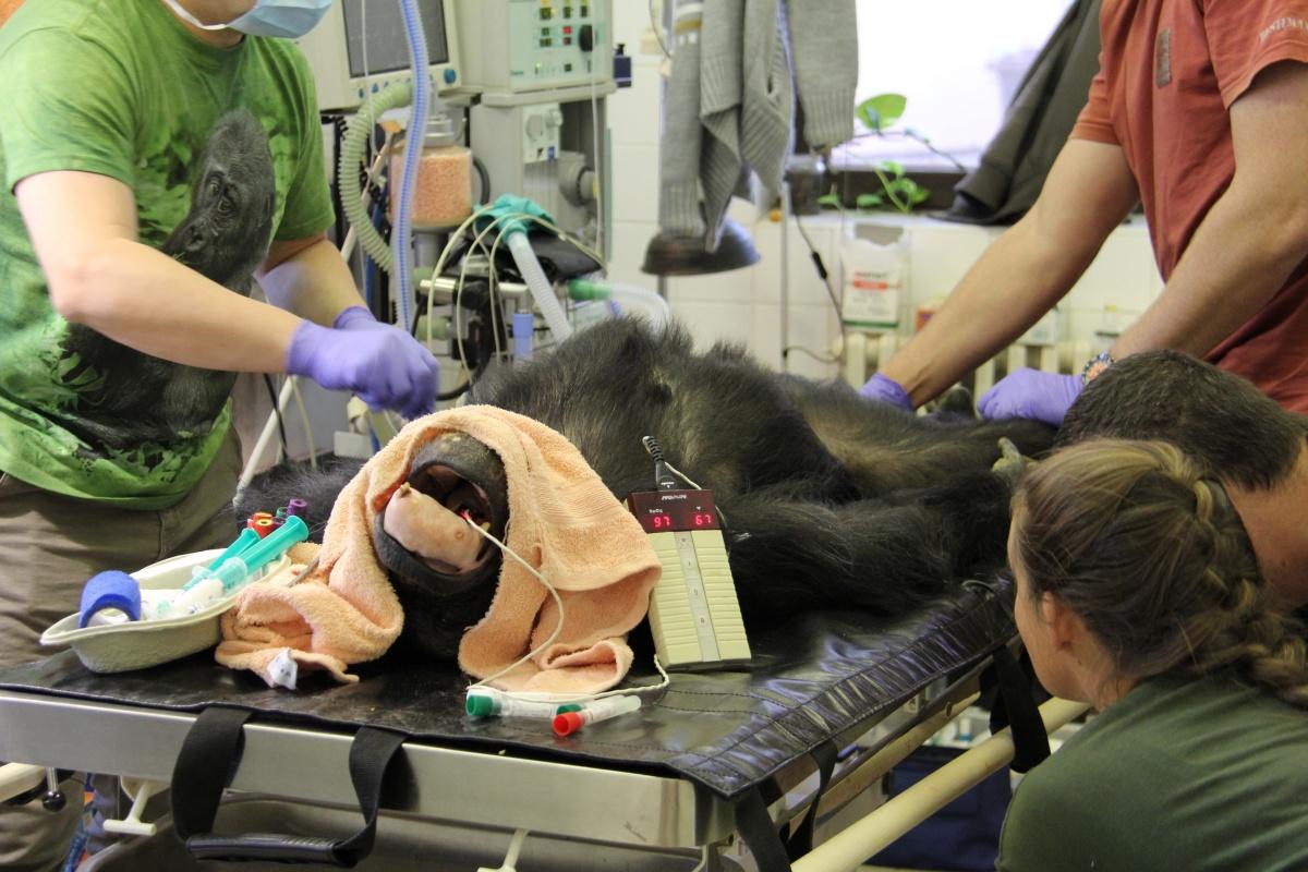 Jedna z nejstarších samic šimpanze v Česku, kterou chová Zoo Hodonín, má za sebou plánovaný dentální zákrok.