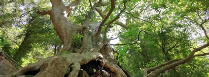 Tisíciletý platan v Itálii Foto: treeoftheyear.org