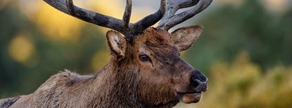 Jelen v Coloradu Foto: Tim Lumley Flickr