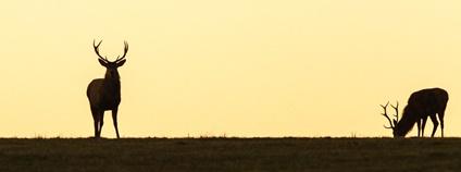 Jelen evropský Foto: Mike Davison Flickr