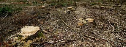 Kácení v Bělověžském pralese Foto: Greenpeace Polska Flickr