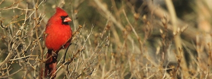 Kardinál červený Foto: Robert Engberg Flickr