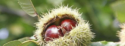 Kaštanovník setý (jedlý kaštan) Fir0002 Wikimedia Commons