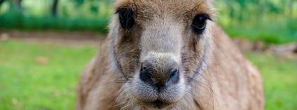 Klokan rudokrký Foto: nicolemoraira Shutterstock