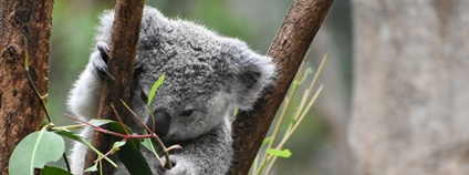 Koala Foto: Archie Carlson Unsplash