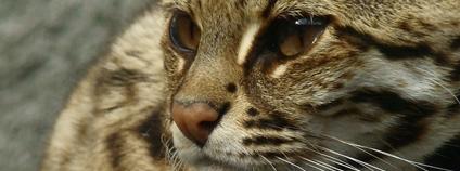 Kočka bengálská Foto: JaBB Flickr