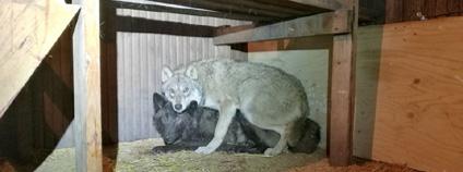 Speciální tým vyšetřovatelů helsinské policie odhalil případ ilegálního dovozu vlků do Finska. Cílem bylo křížit vlky se psy a chovat křížence.
