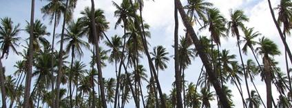 Porost palmy kokosové Foto: Forest and Kim Starr Flickr.com
