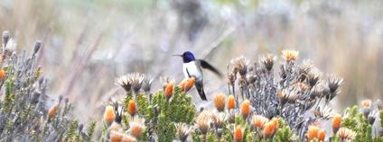 Oreotrochilus chimborazo (kolibřík čimborazský) Foto: Don Faulkner Flickr.com
