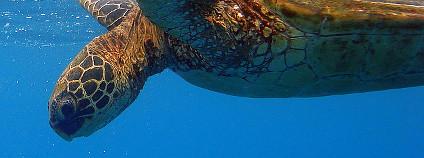 Kareta obrovsk� Foto: Rex Bennett / Flickr.com