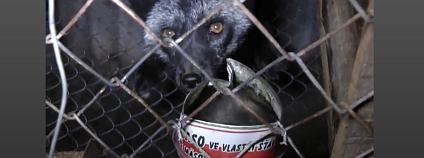 Liška v kožešinovém chovu Foto: ukaztetovlade.cz