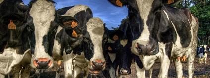 Krávy Foto: Juan Lois Flickr