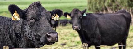Krávy na Novém Zélandu Foto: Dave Young Flickr