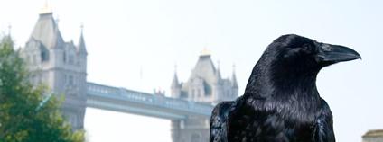 Krkavec na londýnském Toweru Foto: Michael Garnett Flickr