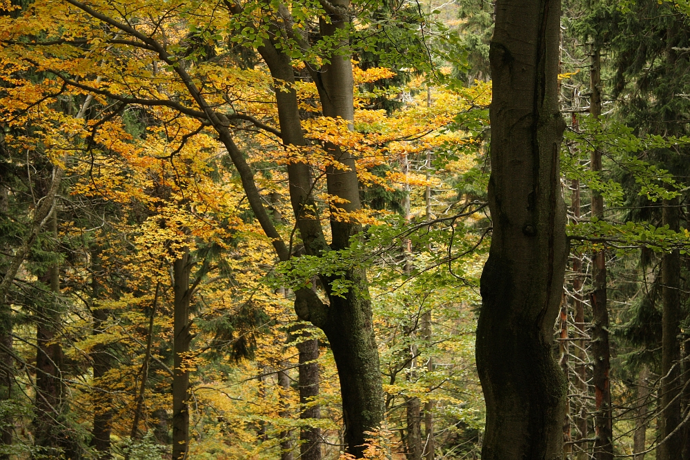 Les v úbočí Kotle v Krkonoších
