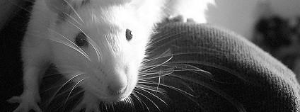 Krysa na rameni oto: Deborah Flickr.com