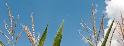 Pole kukuřice Foto:  NeydtStock / Shutterstock
