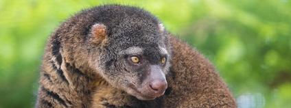 Kuskus medvědí Foto: Zweer de Bruin Flickr