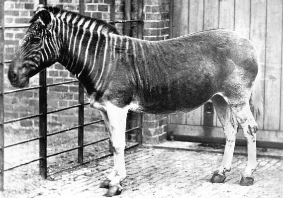 Zebra kvaga v londýnské Regent's Park ZOO na fotografii z roku 1870