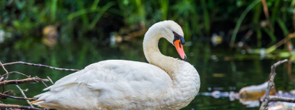 Labuť Foto: David W. Leindecker Shutterstock