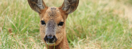Laň Foto: francesco de marco Shutterstock.com
