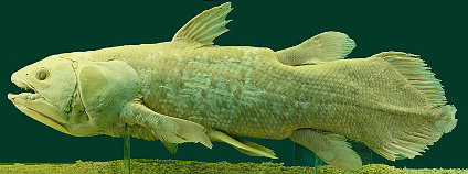 Latimérie podivná (Latimeria chalumnae) Foto: Afernand74 Wikimedia Commons