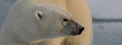 Lední medvěd Foto: Alex Rose Unsplash