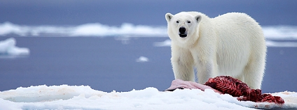 Lední medvěďd Foto: Chase Dekker / Flickr