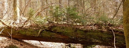 Mrtvé stromy ročně uvolní podobně uhlíku jako spalování fosilní paliv Foto: AV ČR