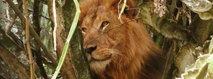 Lev v ugandském NP Foto: Reporterruthie Flickr.com