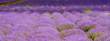 Levandulové pole v Moldávii Foto: Nameless_One Flickr