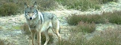 Vlčice v německé Lužici zachycená fotopastí. Foto: Wildbiologisches Büro LUPUS