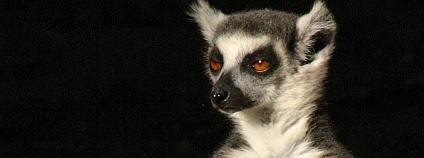 Madagaskar je proslulý lemury. Na snímku lemur kata. Foto: Neil Strickland / Flickr