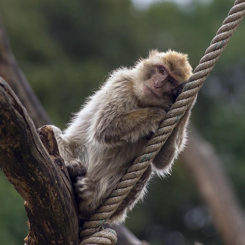 Z německého zooparku uteklo přes 20 opiček, byly dopadeny a vráceny