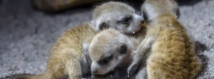 Malé surikaty v pražské zoo Foto: Petr Hamerník Zoo Praha
