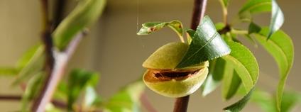Plod mandloně Foto: Maria Eklind Flickr