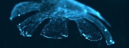 Uměle vytvořený meduzoid. Foto: Harvard University/Caltech