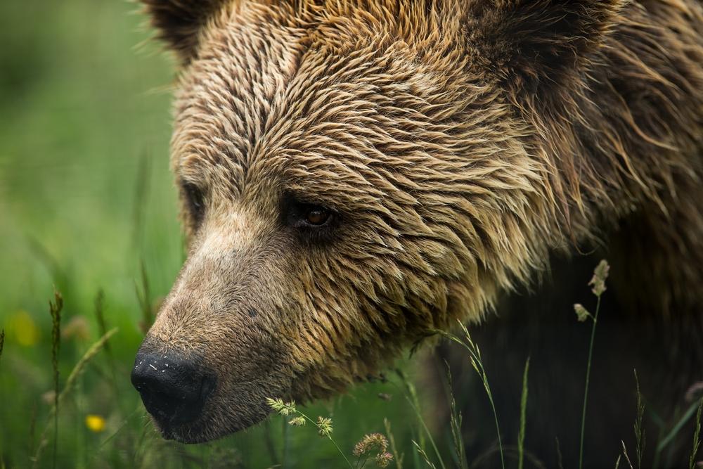 Mapování výskytu šelem v Beskydech nepotvrdilo výskyt medvědů