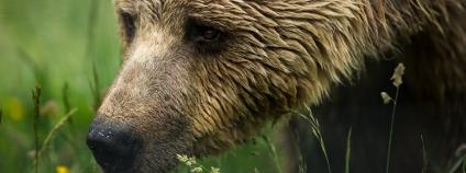 Medvěd hnědý Foto: Calin Stan / Shutterstock
