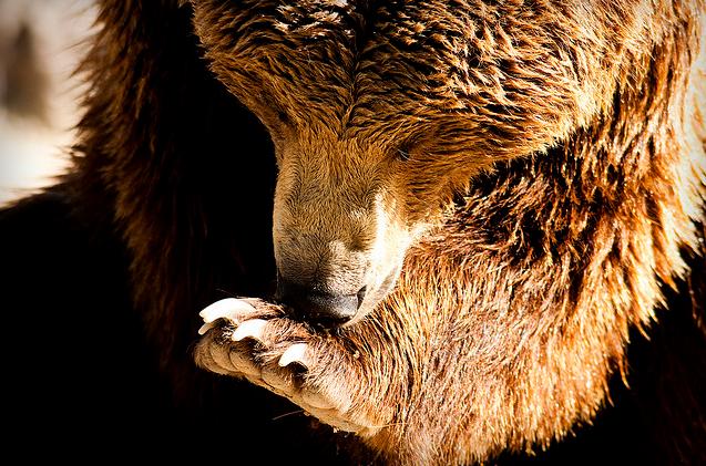 Všichni vesničané, s nimiž novinář listu The Guardian mluvil, vnímají zabíjení medvědů jako nutnost. Říkají, že je vláda nechala na holičkách - a medvědi jsou příliš velkou hrozbou, aby je bylo možné ignorovat. Ilustrační snímek.