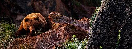 Medvěd hnědý. Foto: Noel Feans/Flickr