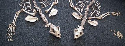 Tygří kosti Foto: ČIŽP