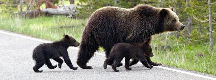 Rodinka medvědů Foto: grizzly dezzouk Flickr.com