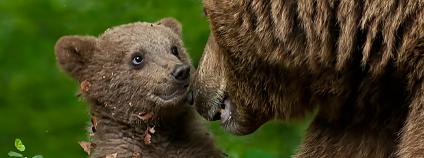 Medvěd hnědý - medvídě Foto: un.bolovan / Shutterstock