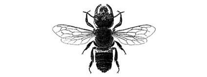 Znovuobjevený druh včely, která byla domněle vyhynulá, Indonésie