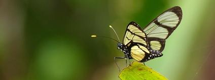 Motýl Methona confusa s průhlednými křídly Foto: Andrew Neild Flickr